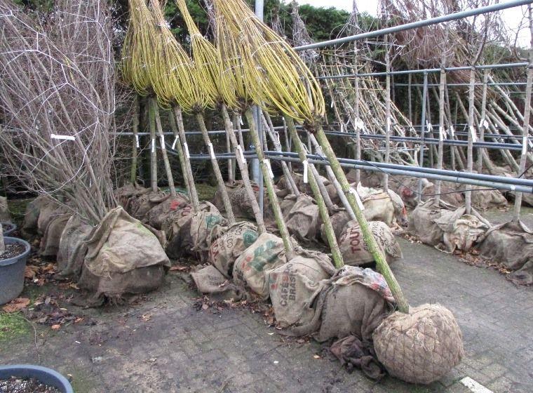 laanboom met kluit