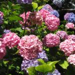 Hortensiablauw past bij jou.Greenlink