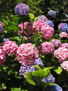 Hortensiablauw past bij jou…