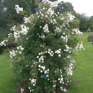 De roos als koningin van de tuinplanten.greenlink