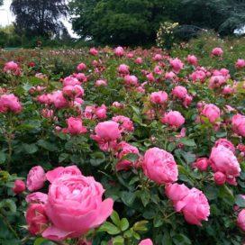 De roos als koningin van de tuinplanten